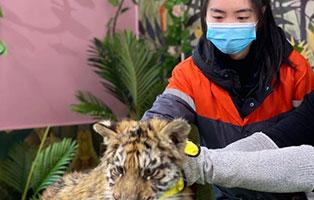 """「湖南研学」2021长沙东北虎保护夏令营(5天)丨你还在撸猫撸狗嘛?这次和我们一起去撸""""百兽之王"""""""