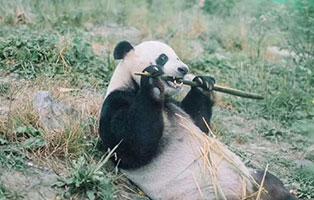 「四川义工」2021成都熊猫保护夏令营(5天)丨盘熊猫只是标配,做熊猫科学家才是独一份