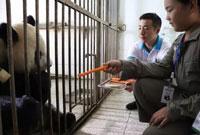 四川义工夏令营活动怎么样?让孩子和熊猫宝宝做朋友