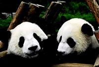 熊猫天使亲子义工夏令营,零距离接触国宝!